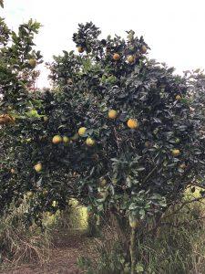 Alakai O Kauai campus fruit tree