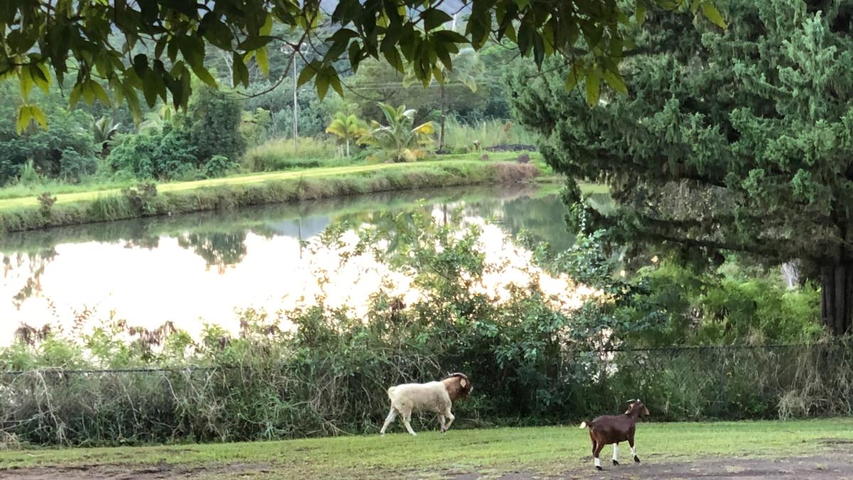 Alakai O Kauai campus outside goats